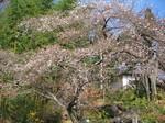 さかゑ桜.JPG
