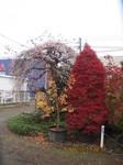 紅葉とさかゑ桜.JPG